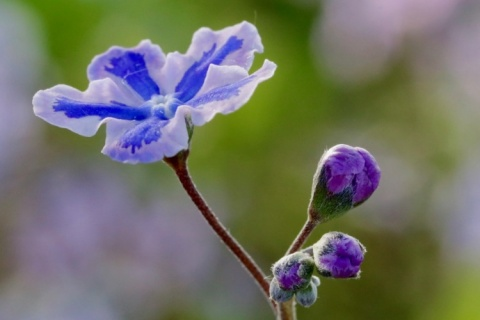 Omphalodes cappadoides Starry Eyes
