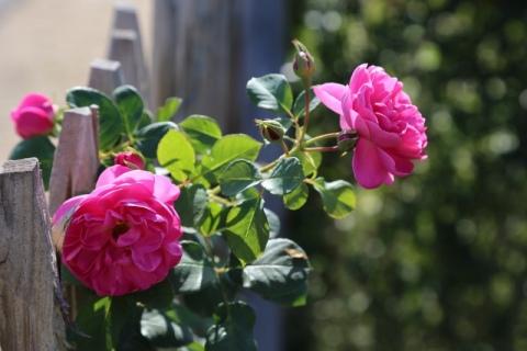 Rose Allegro