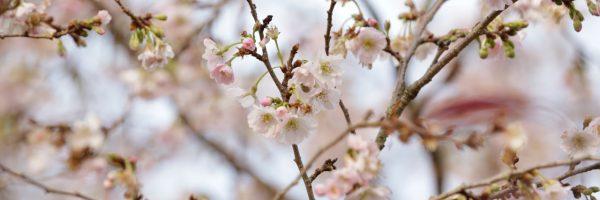 """Prunus subhirtella """" Autumnalis Rosea """""""